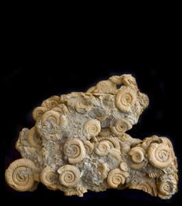 cat-ammonites1