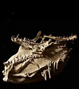 cat-skullsandbones