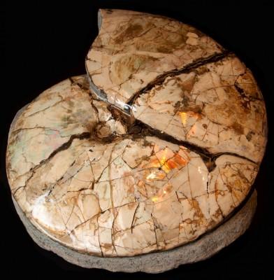 montana ammonite