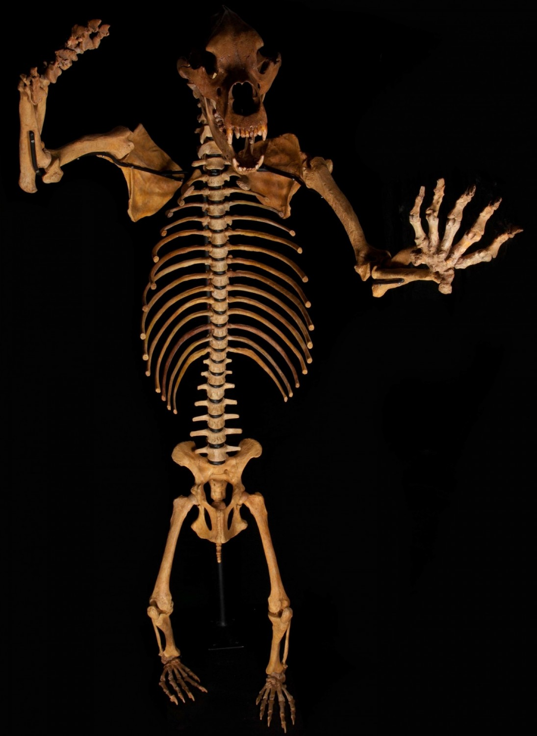 Huge Cave Bear Skeleton from Romania (image 1)