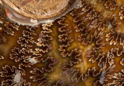 Mad Ammonite1.2 H 22cm W 19cm D 4cm