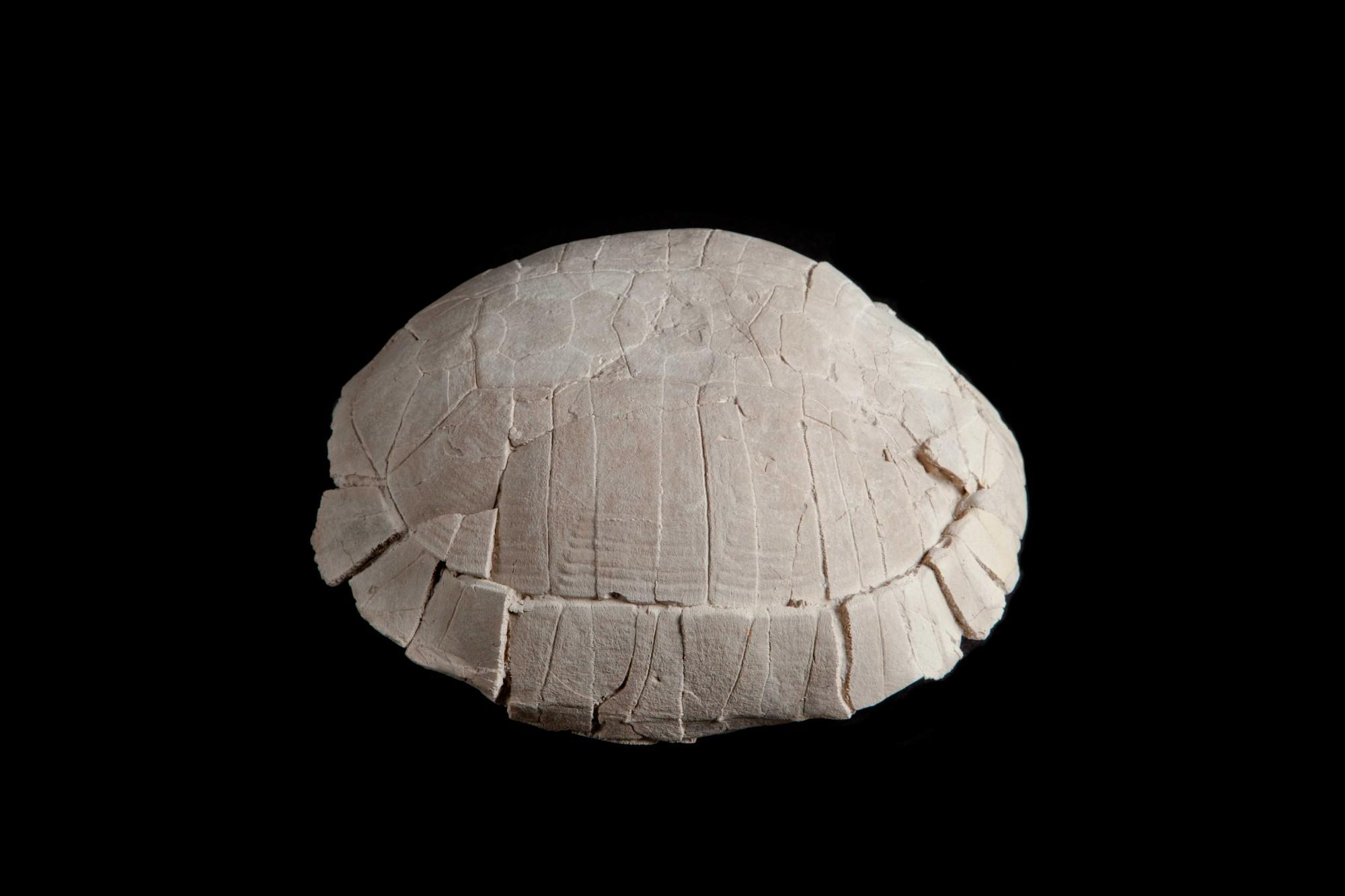 Turtle H 14cm  W28cm D 24 £1,800