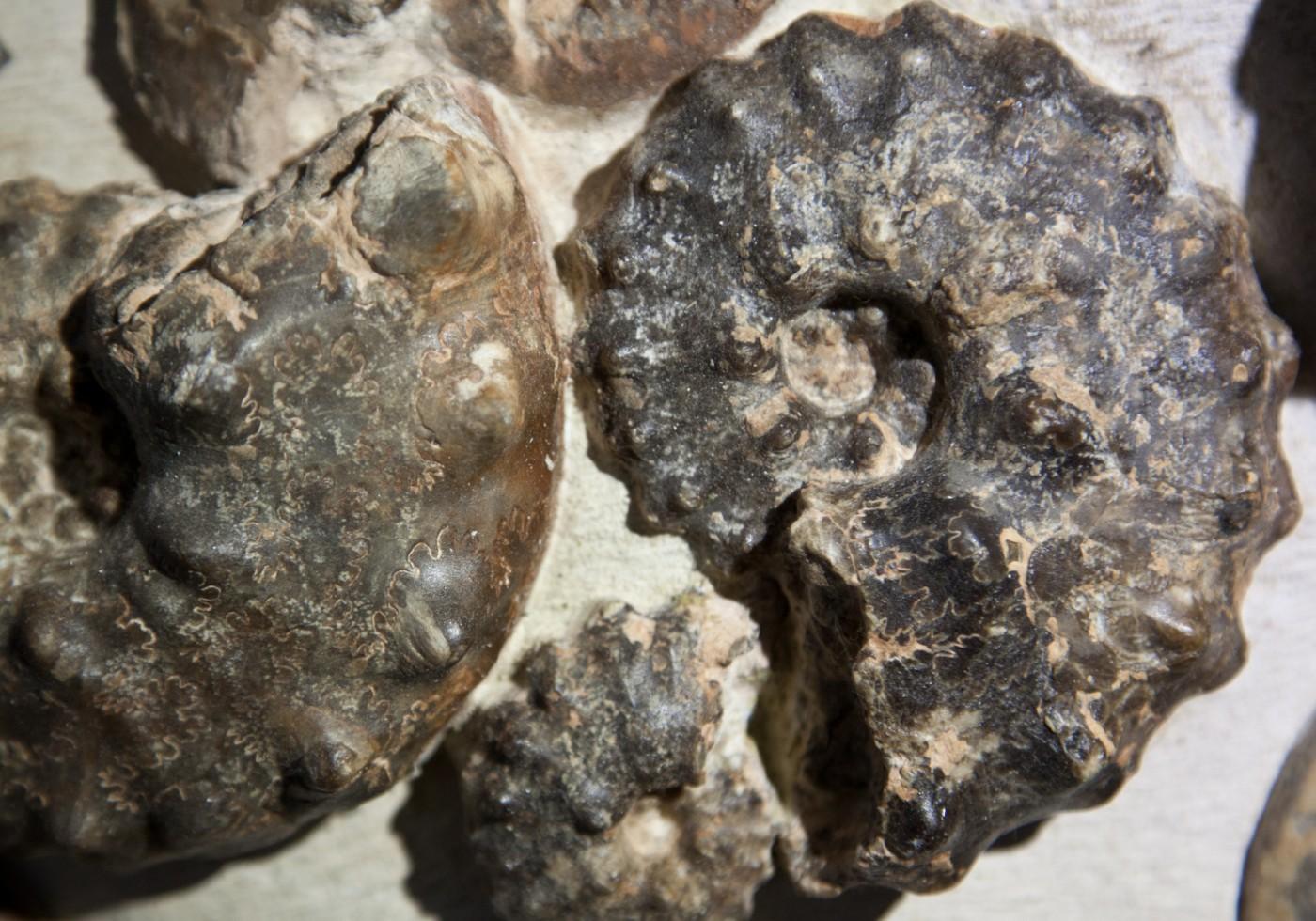close ammonite