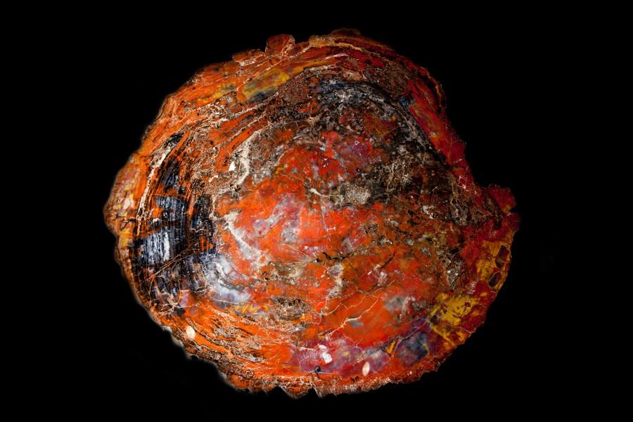Fossil Wood Slice Di 90cm D3cm 14,000