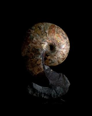 Ammonite form Montana Cretaceous H 61cm x W41cm x D21cm £20,000