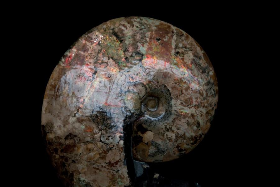 Ammonite form Montana Cretaceous4 H 61cm x W41cm x D21cm £20,000