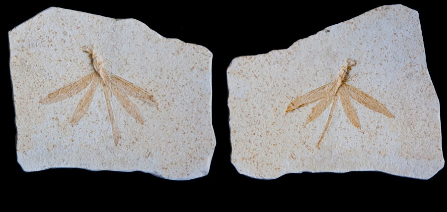 Fossil Shrimps PAIR