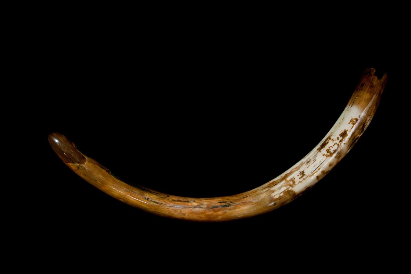 20-1-mammoth-tusk