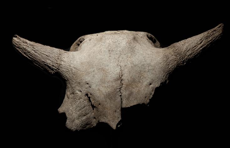 5-2-bison-skull