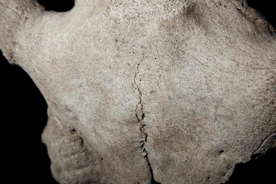 5-3-bison-skull