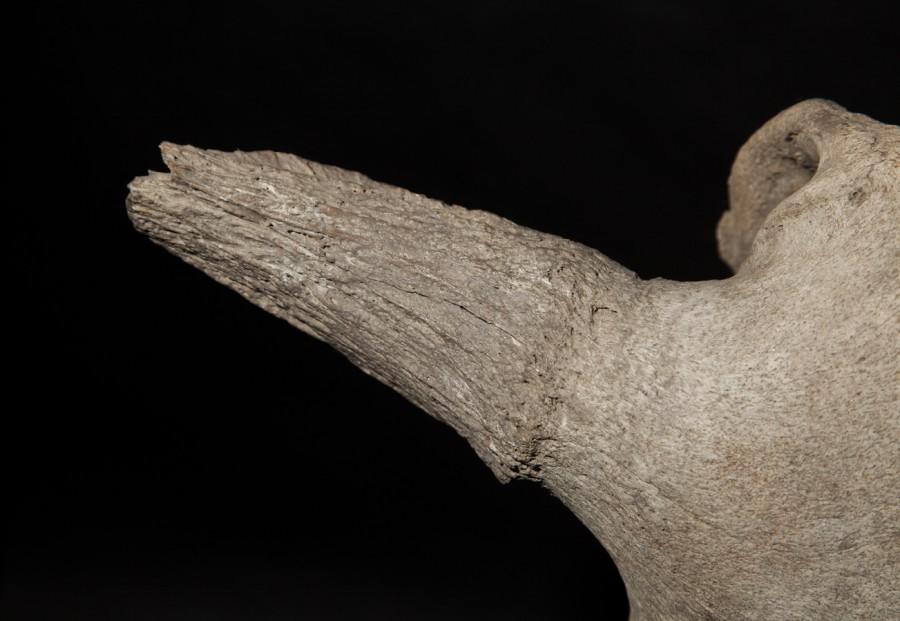 5-4-bison-skull