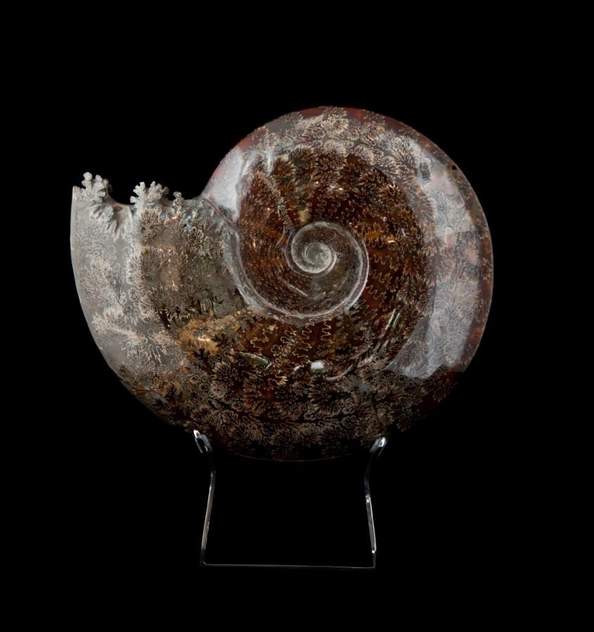 1 Ammonite 1.1 H35cm x W31cm x D7cm