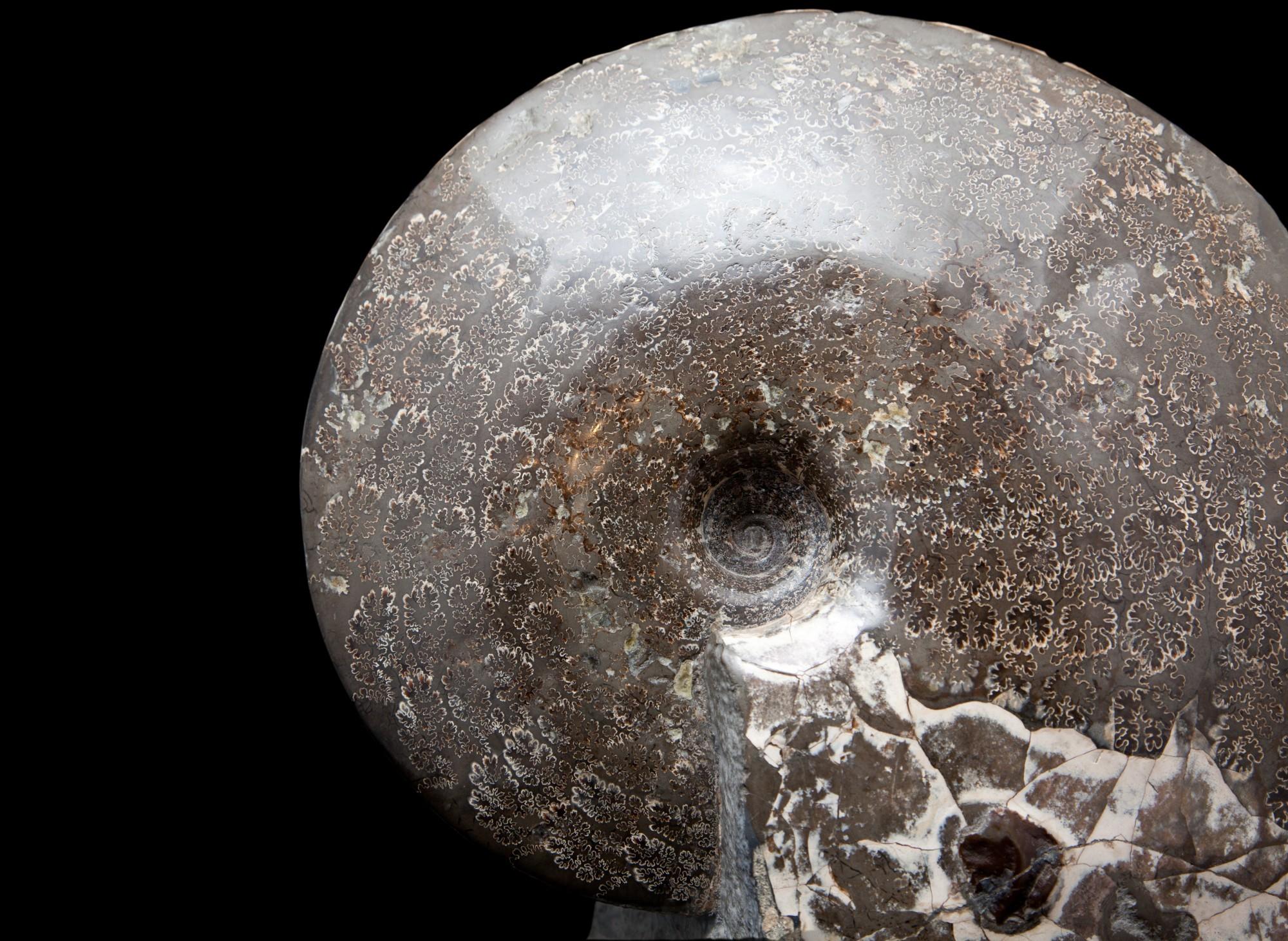 13.2 Ammonite