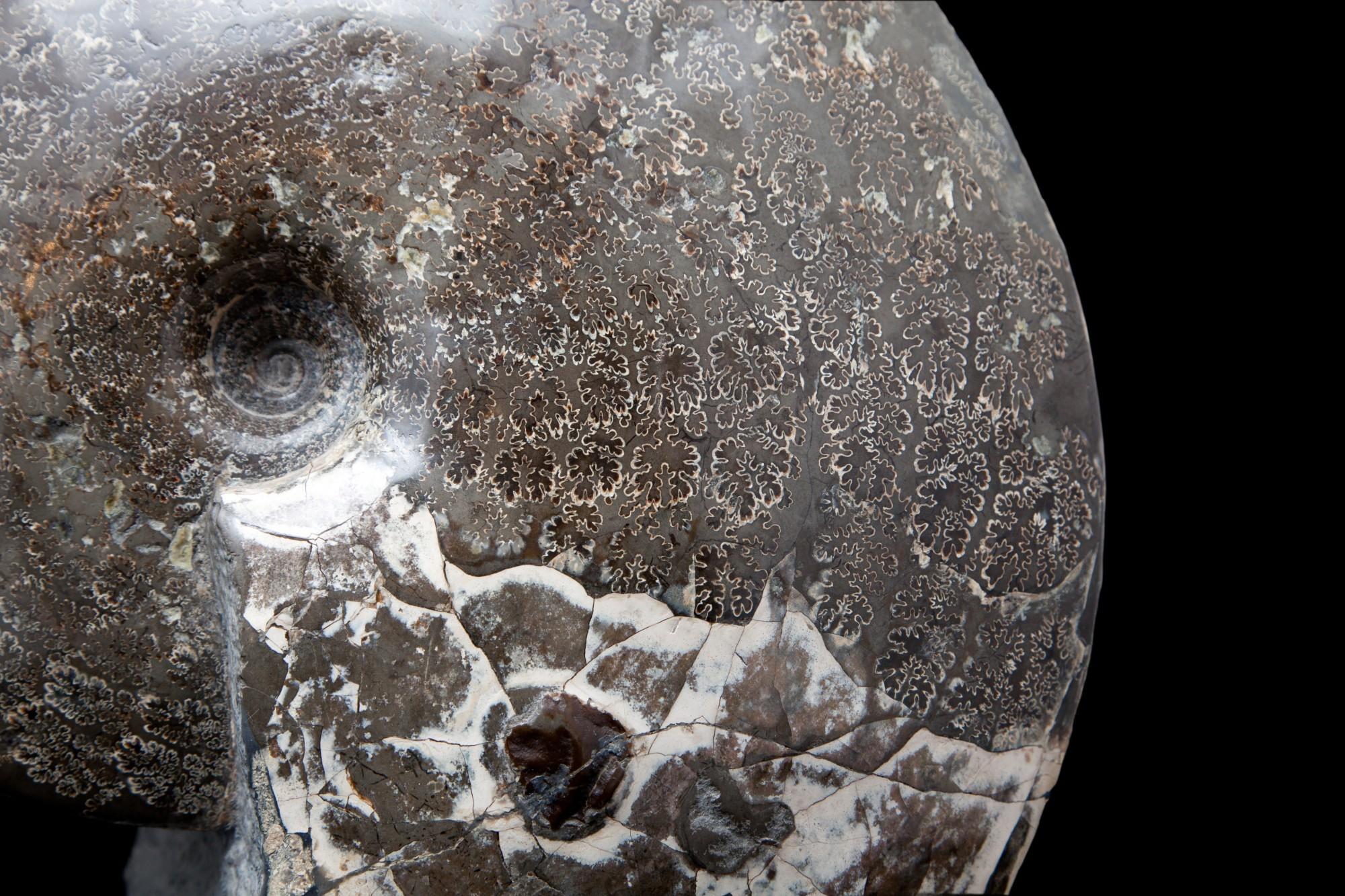 13.3 Ammonite