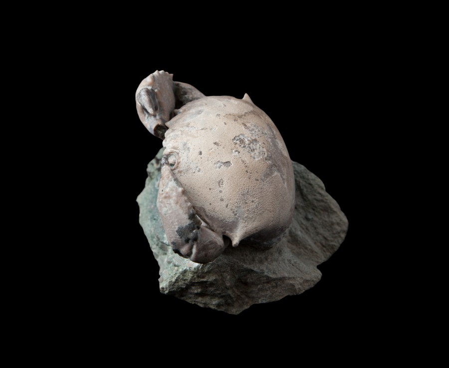 Fossil Crab 1.2