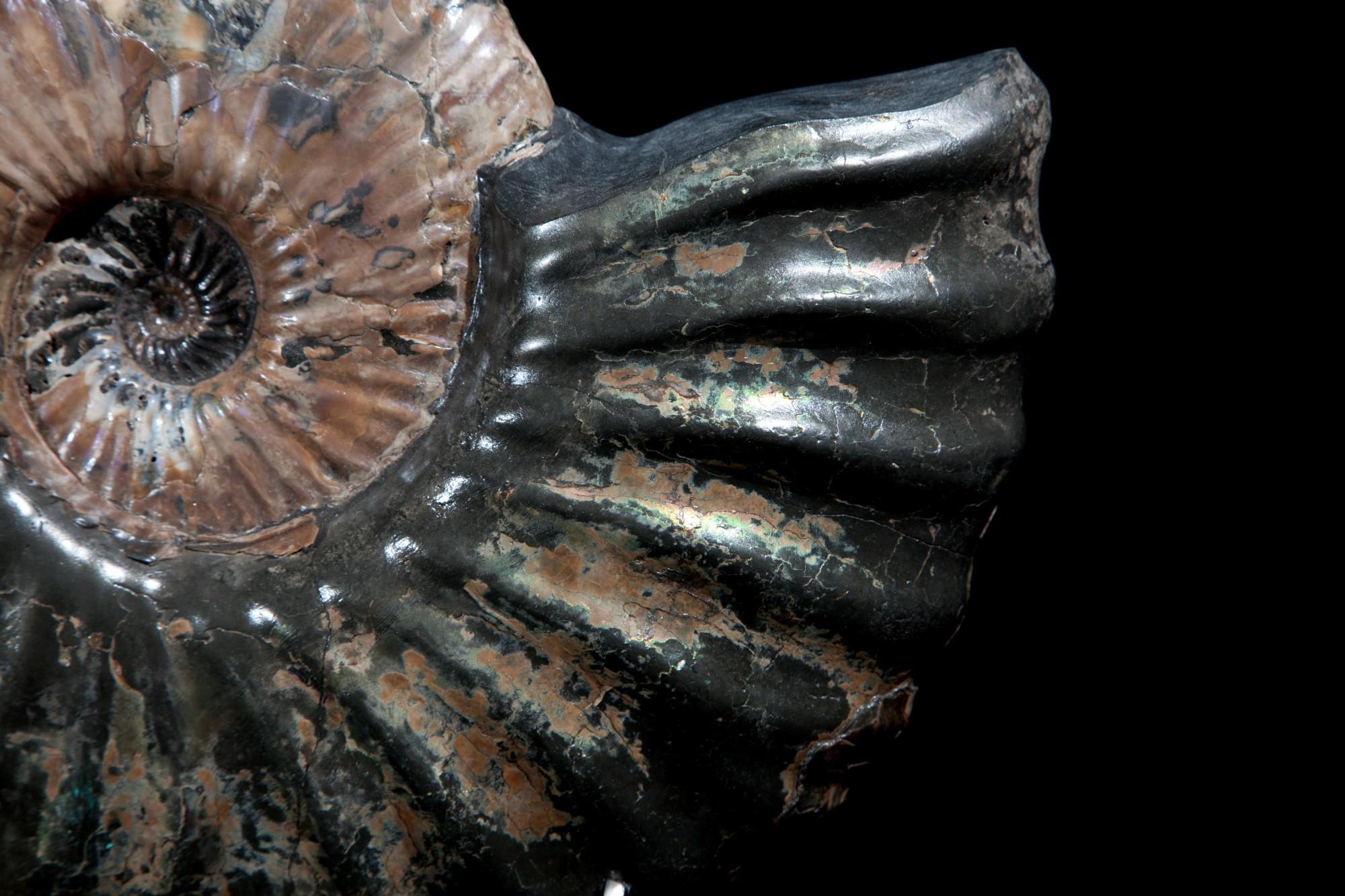 26. Russian Ammonite 2