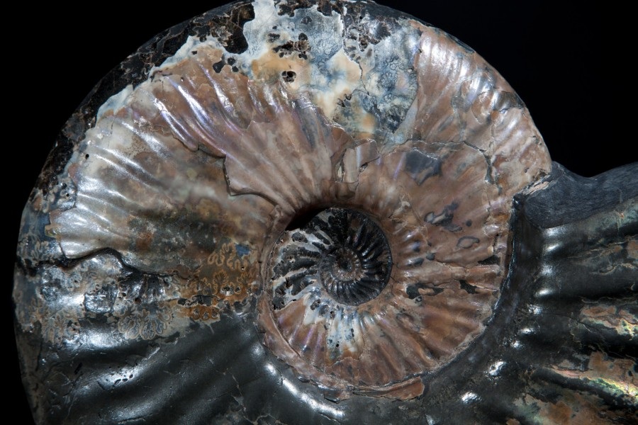 26. russian ammonite 4