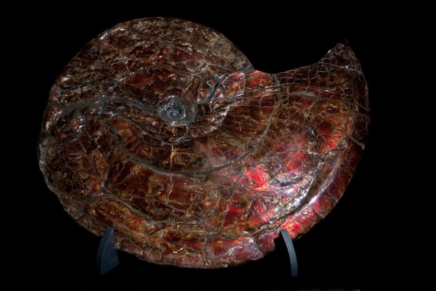 27. Canadian Ammonite 1