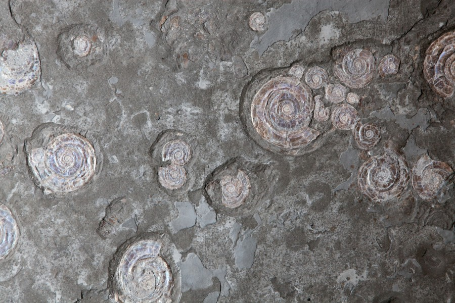 36. UK Ammonite plate 3