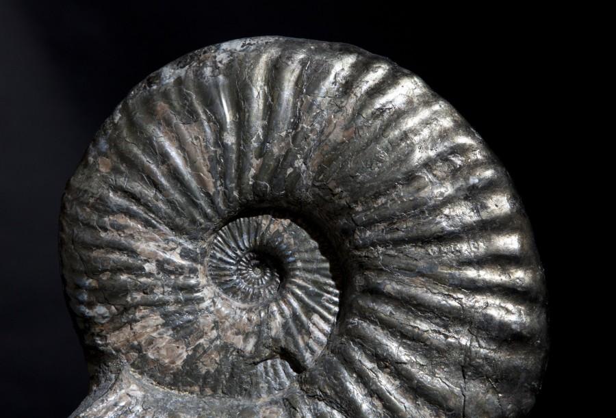 38. Ammonite.3
