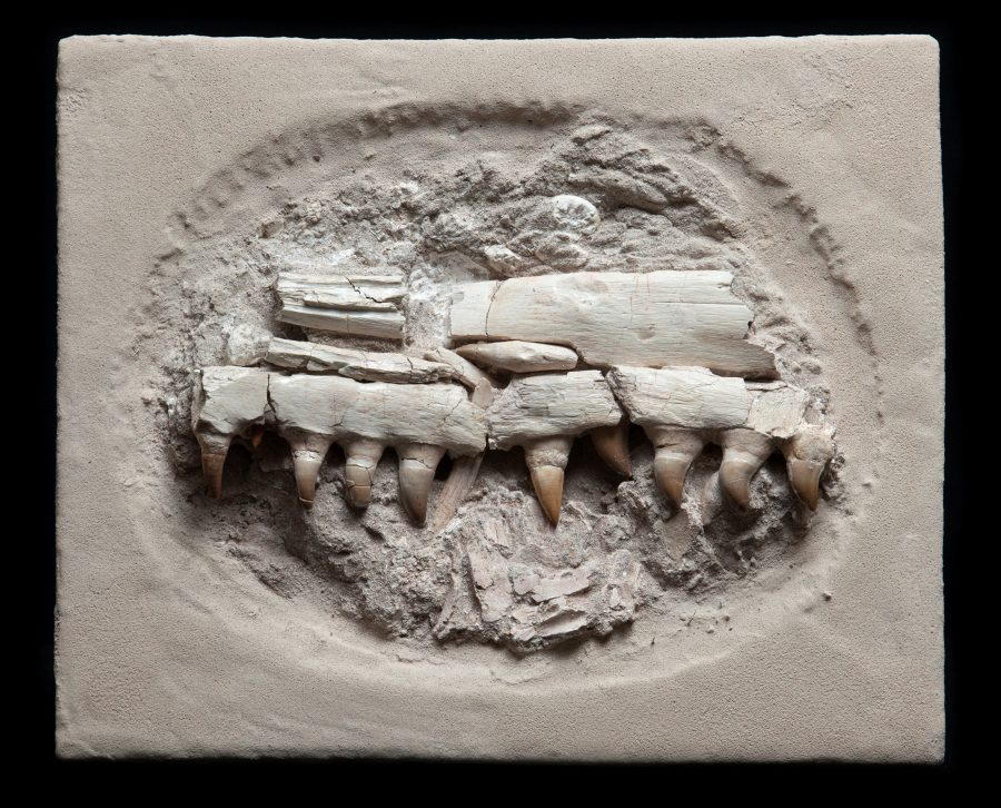20. Mososaur Jaw H35 W41 D16 .1