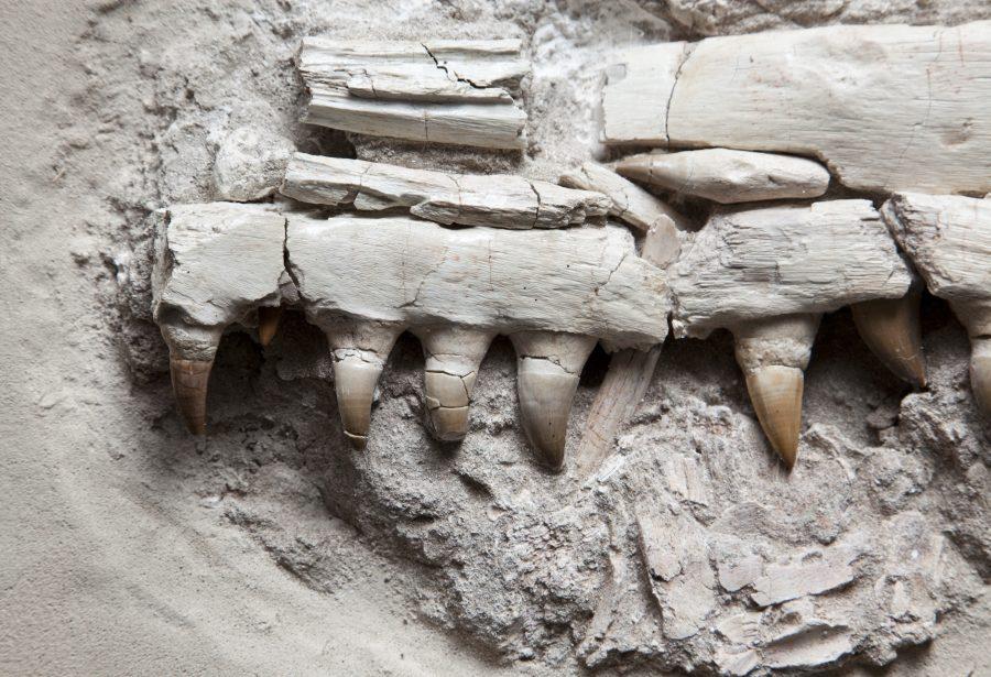 20. Mososaur Jaw H35 W41 D16 .3