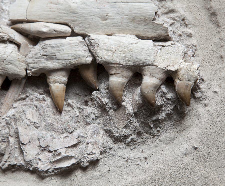 20. Mososaur Jaw H35 W41 D16 .4