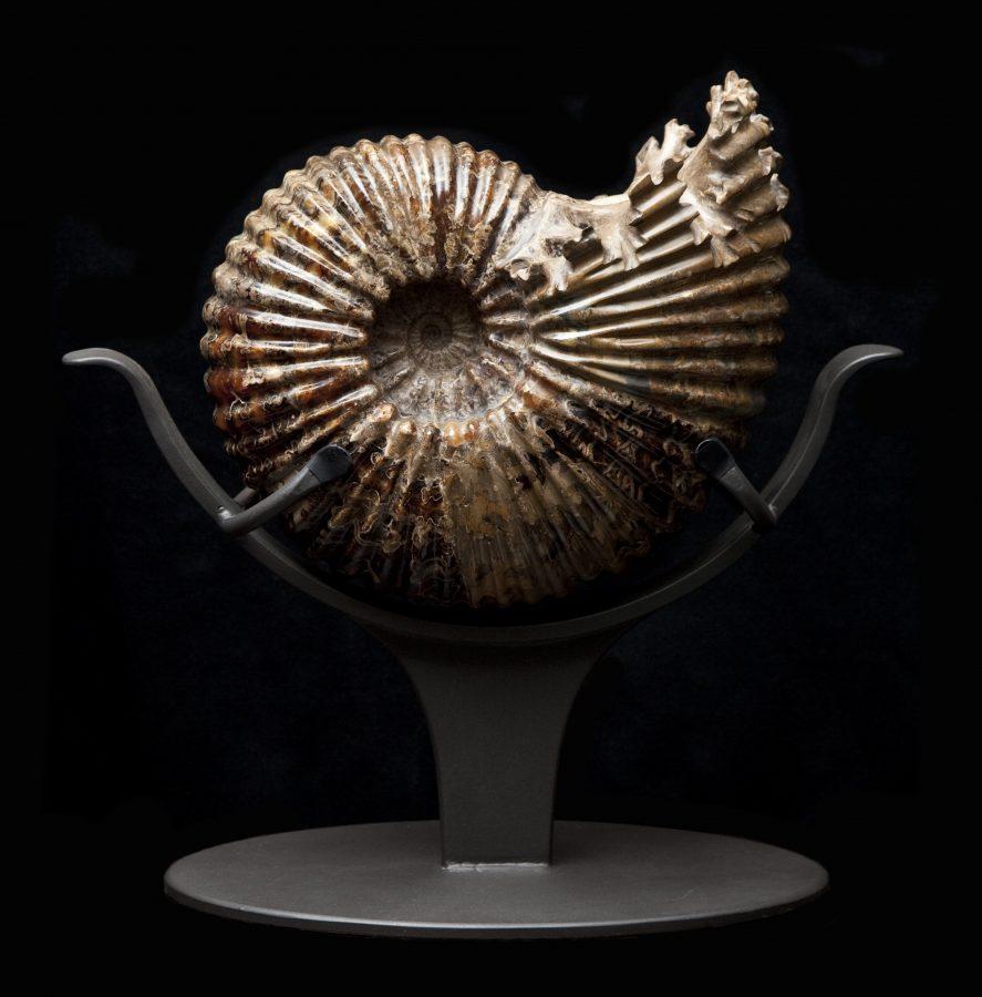 25 Ammonite H54.5 W55 D28 .1