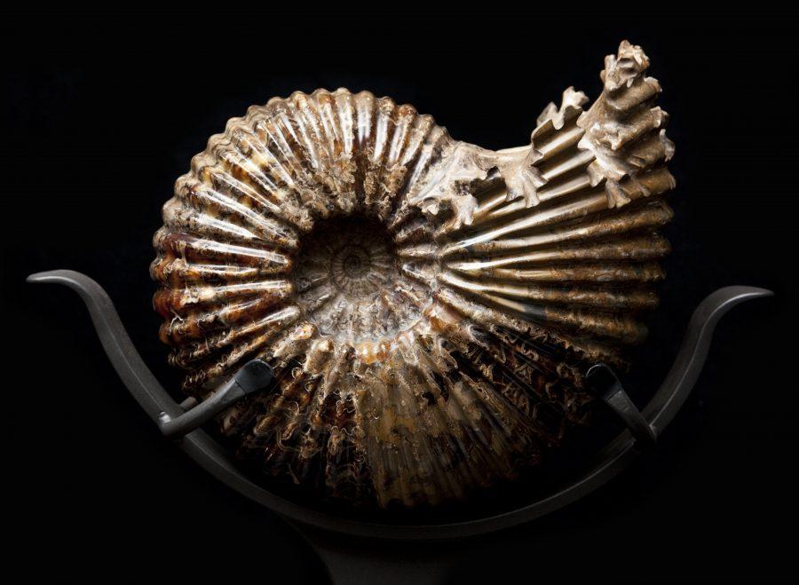 25 Ammonite H54.5 W55 D28 .2