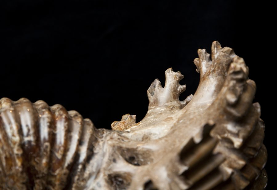 25 Ammonite H54.5 W55 D28 .4