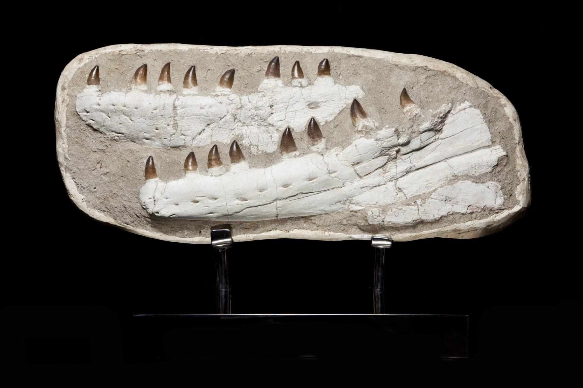 28. Mososaur Large H55 W87 D35.5
