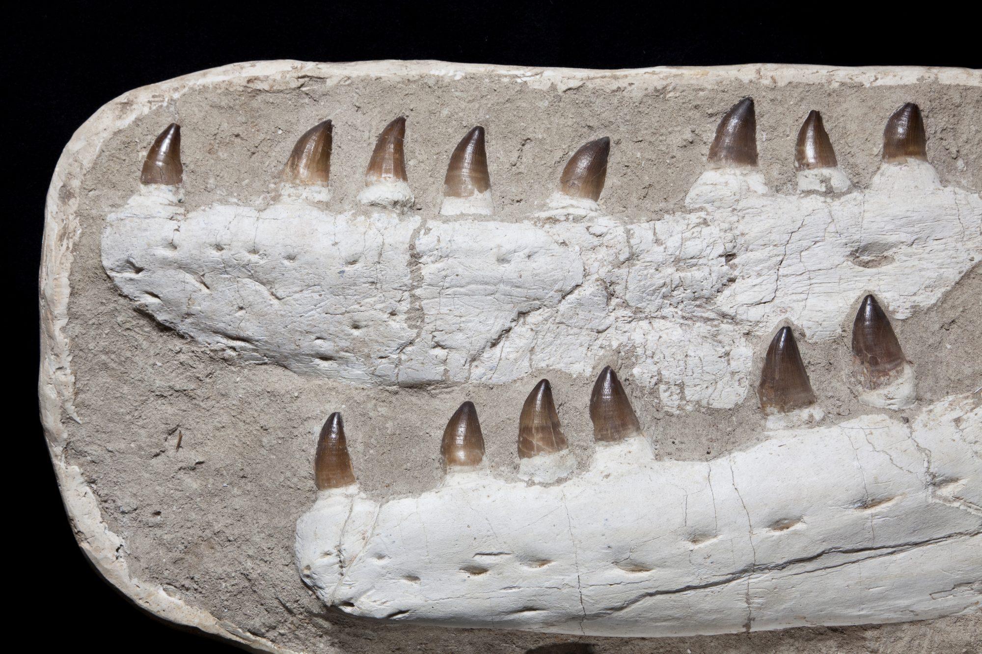 28. Mososaur Large H55 W87 D35.5 .2