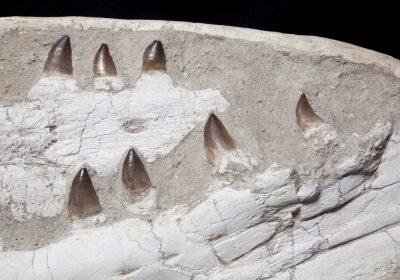 28. Mososaur Large H55 W87 D35.5 .3