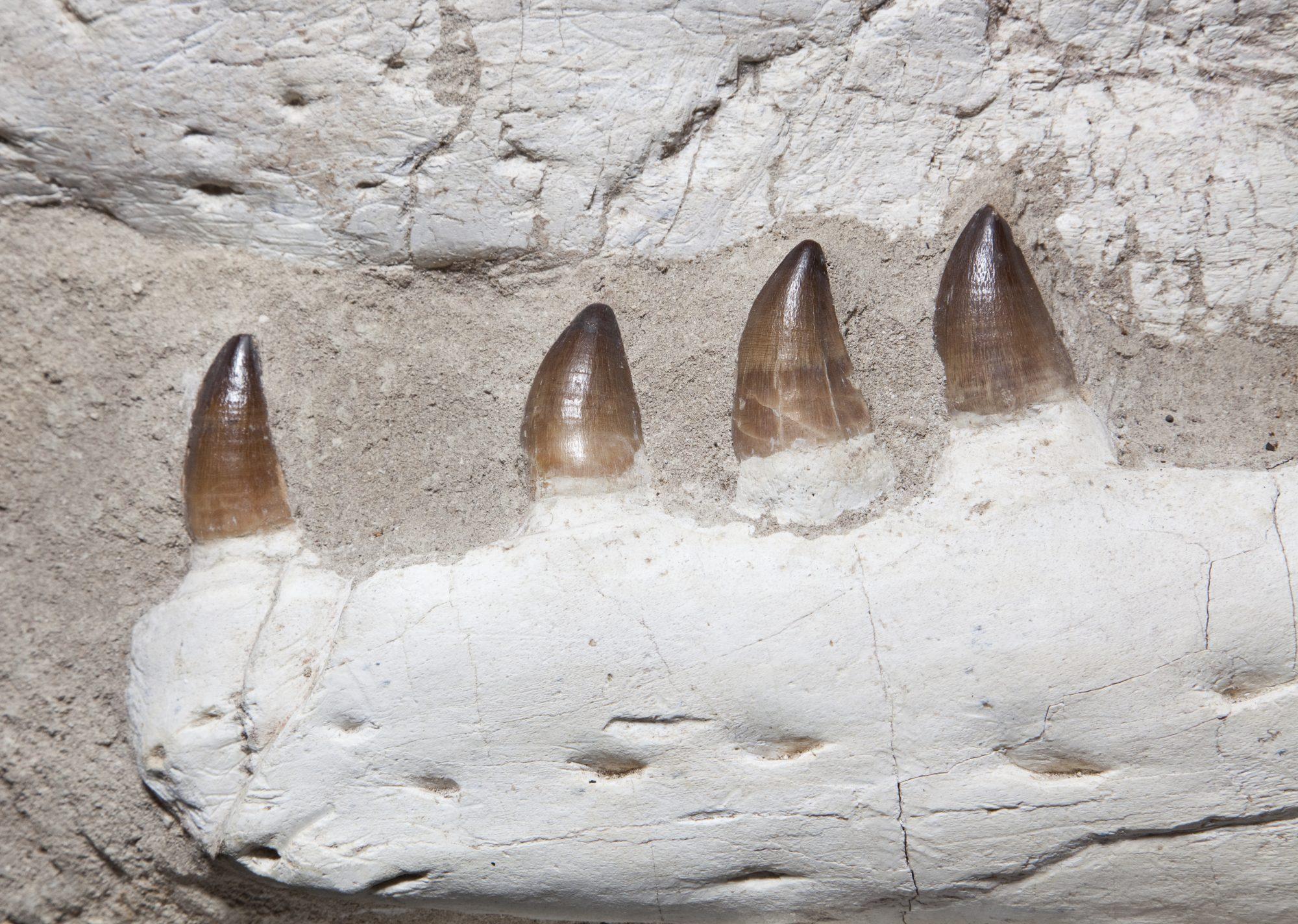 28. Mososaur Large H55 W87 D35.5 .4