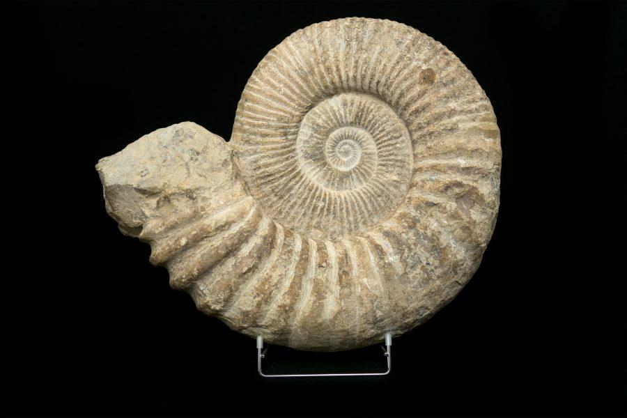 Ammonite Morooco 1. H46 W51 D10 £1,600